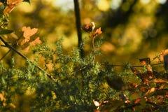 Spiky krzak w popołudniowym złotym godziny słońcu Fotografia Royalty Free