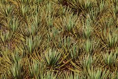 Spiky Leaves Of Dragon Tre Stock Photography
