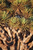 Spiky Leaves Of Dragon Tree Royalty Free Stock Image