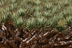 Spiky Leaves Of Dragon Tree Royalty Free Stock Images