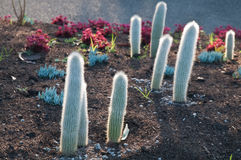 Spiky little cactus trees in the evening Royalty Free Stock Photo