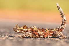 Spiky lizzard Stock Photos