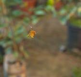 Spiky Orange Spider Royalty Free Stock Images