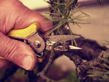 Spiky pincers  artistic gardener trimming bonsai tree. Cut of bended twig Stock Image