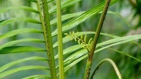Spiky rattan rośliny w tropikalnym lesie fotografia royalty free