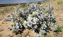 Spiky, srebro plaży roślina Zdjęcie Stock