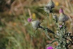 Spiky thistle with blurred background Royalty Free Stock Image