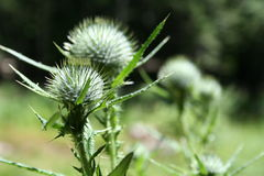 Spiky Weeds Royalty Free Stock Image
