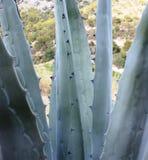 Spiky wiek roślina Fotografia Royalty Free
