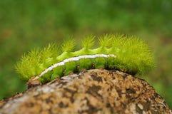 Spiky zielony gąsienicowy Automeris io ćma Zdjęcie Royalty Free