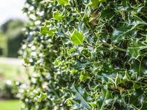 Spiky zielony krzak Zdjęcie Royalty Free