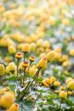 Spilanthes oleracea,巴拉水芹植物 库存照片