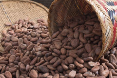 Spilled basket of cacao beans Stock Photos