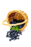 Spilled Blueberries. A wicker basket on its side with freshly picked berries spilling out on to a light colored background Stock Image