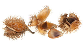 Spilled seed beech Royalty Free Stock Images