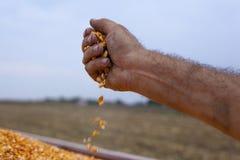 Spilling freshly harvested corn maize seeds grains. Farmer's hand spilling freshly harvested corn maize seeds grains Stock Image