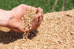 Spilling Wheat. Farmer's hand spilling freshly harvested wheat grains Stock Photo