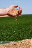 Spilling wheat grains. Farmer's hand spilling freshly harvested wheat grains on trailer against soybean field Royalty Free Stock Photography
