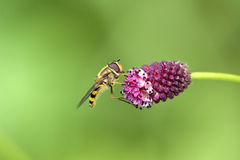 Spilomiya eyed (Spilomyia diophthalma), a family of flies, hoverflies (Syrphidae) on a red flower Stock Photography