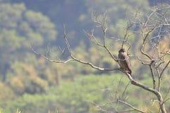 Spilornis cheela (台湾鸟) 库存图片