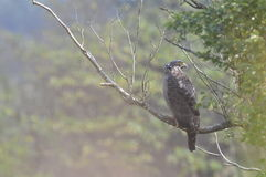 Spilornis cheela (台湾鸟) 库存照片