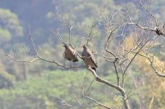 Spilornis cheela (台湾鸟) 免版税图库摄影