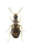 Spilotus van Calodromius Stock Foto