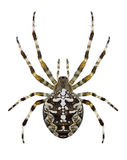 Spin Araneus Diadematus Royalty-vrije Stock Foto