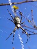 Spin (bruennichi Argiope) op spiderweb Royalty-vrije Stock Fotografie