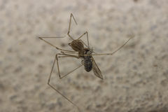 Spin die een insect preying Stock Foto's