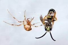 Spin en slachtoffer stock afbeelding