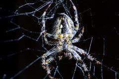 Spin en spin` s Web op zwarte achtergrond Spinachtige die het Web beklimmen Extreem dicht omhooggaand macrobeeld stock fotografie