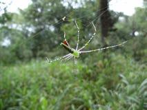 Spin in heldergroen in zijn Web in Swasiland Stock Foto