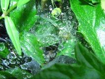 Spin met nest met dalingen van dauw op de bladeren van de installatie Stock Afbeelding