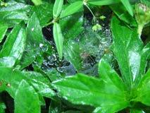 Spin met nest met dalingen van dauw op de bladeren van de installatie Royalty-vrije Stock Afbeelding