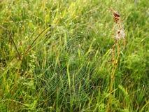 Spin netto met ochtenddauw, Litouwen stock afbeeldingen