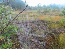 Spin netto in moeras, Litouwen stock afbeeldingen