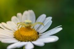 Spin op een madeliefjebloem die zijn prooi wachten onder de zon stock fotografie