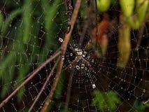 Spin op een Web in Fraser Hill, Selangor, Maleisië royalty-vrije stock afbeelding