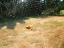 Spin op spiderweb Stock Afbeeldingen