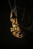 Spin op spinneweb stock fotografie