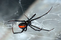 Spin, rood-Rug, Lacrodectus Hasselti royalty-vrije stock foto