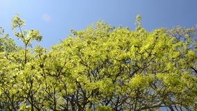 Spin view of green maple tree branch move in wind over blue sky. Spin view of green maple tree branches move in spring wind over blue sky stock video footage
