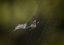 Spin in zijn Web Royalty-vrije Stock Afbeelding