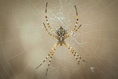 Spin in zijn Web die op jagend, groot detail van zijn mond wachten en poten Royalty-vrije Stock Foto