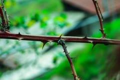 Spina della pianta Immagine Stock