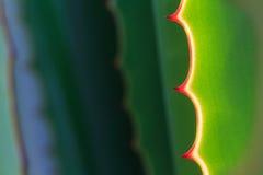 Spina della pianta dell'agave nei giardini Fotografie Stock Libere da Diritti