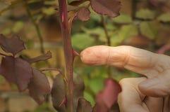 Spina di Rosa dei touchs del dito Fotografie Stock