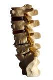 Spina dorsale Fotografie Stock Libere da Diritti