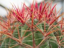 Spina dorsale alta chiusa del cactus Fotografia Stock Libera da Diritti